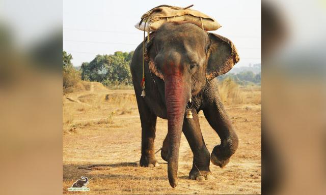 日前,印度動物保護團體緊急介入,成功拯救了一頭長年遭受虐待的大象。(Wildlife SOS提供)