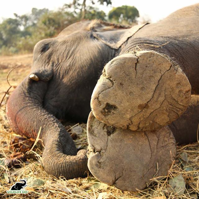 艾瑪的腳墊上刺滿各種鋒利的玻璃、金屬和石頭碎片。(Wildlife SOS提供)