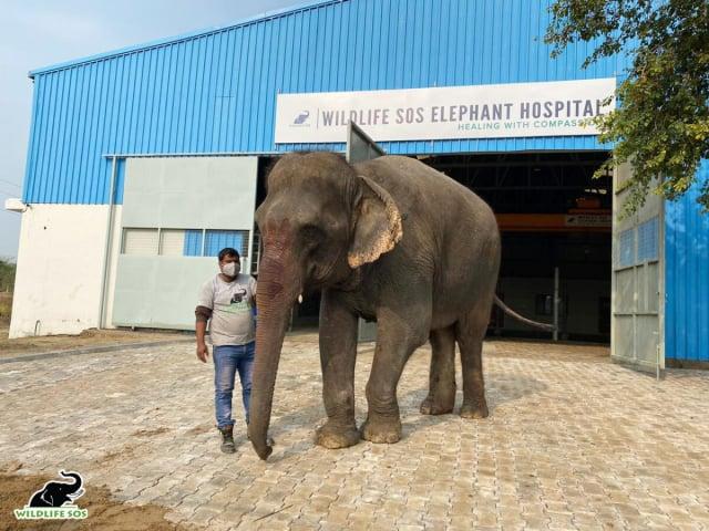 艾瑪在馬圖拉的大象醫院開始康復之旅。(Wildlife SOS提供)
