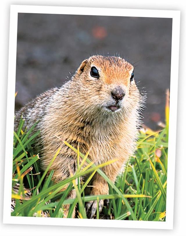 woodchuck土撥鼠。(123RF)