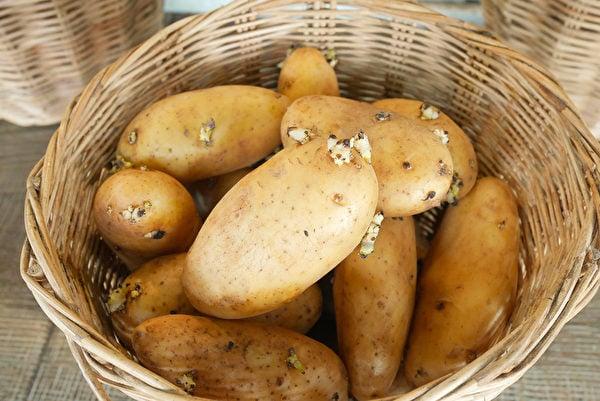 馬鈴薯在發芽過程中,會釋放有毒的龍葵鹼(茄鹼),煮熟了也不能去除。(Shutterstock)