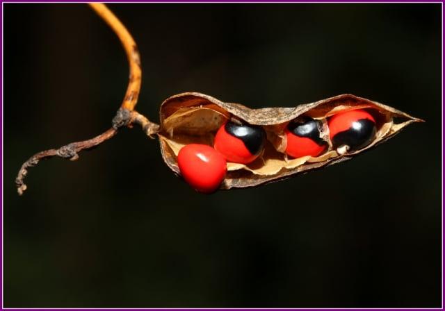 種子中含有雞母珠毒素(abrin)的蛋白質,具有很強的毒性,誤食中毒會讓人喪命。(攝影/鄭清海)