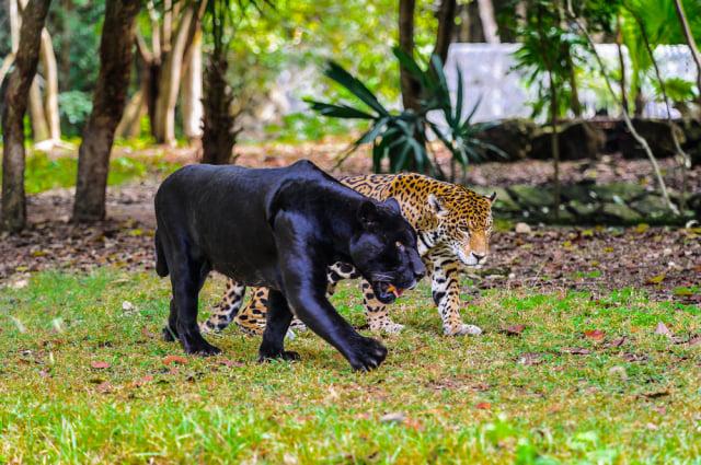 黑豹主要生活在亞洲印度或非洲的人跡罕至之處。(Shutterstock)