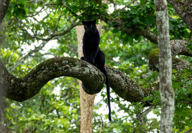 黑豹是世界上人類最難得窺見的動物之一。(Shutterstock)