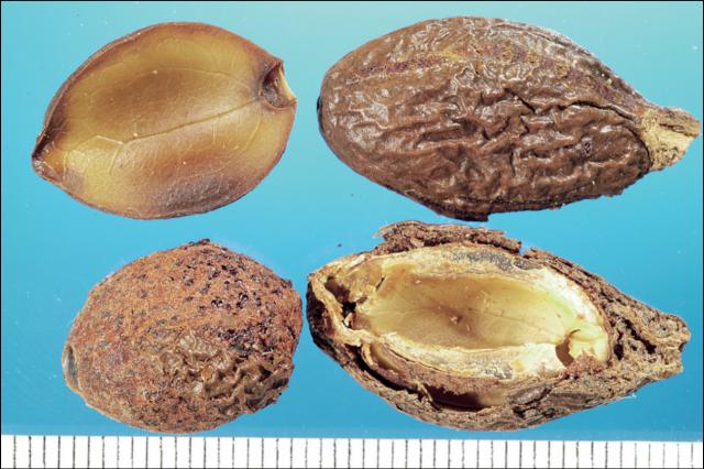 左:圓粒蘋婆及其切面,右:胖大海及其切面。(張賢哲教授《道地藥材圖鑑》提供)