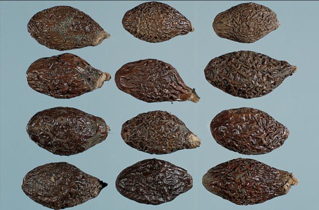 胖大海之外觀:橄欖狀,皺紋飽滿,色暗棕,有光澤,泡水膨大8倍。(張賢哲教授《道地藥材圖鑑》提供)