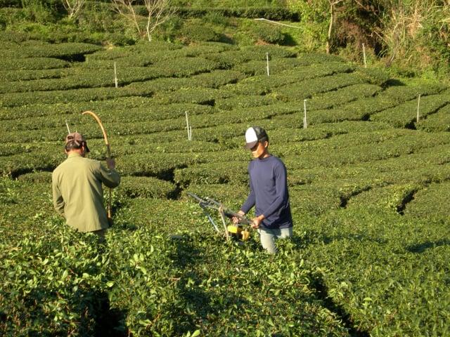 茶農張清標最新式機械採茶。