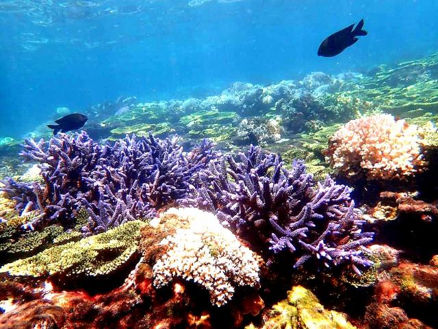 澎湖美麗的珊瑚,彷彿來到馬爾地夫。(攝影/楊子樊)