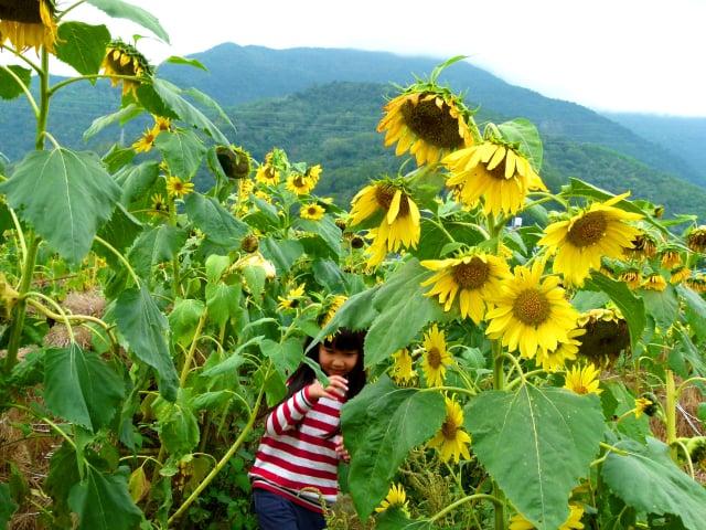 有趣的向日葵迷宮。