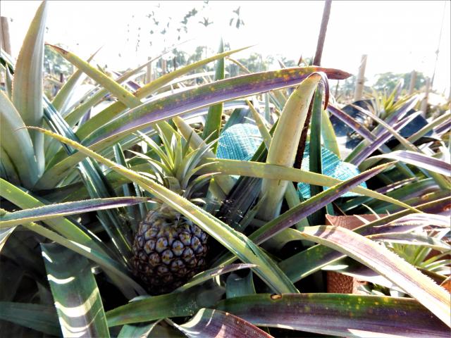 日正當中,一顆顆躲在驕陽下的綠皮鳳梨,戴上五顏六色的圓帽子,大約過兩個月就要採收了!