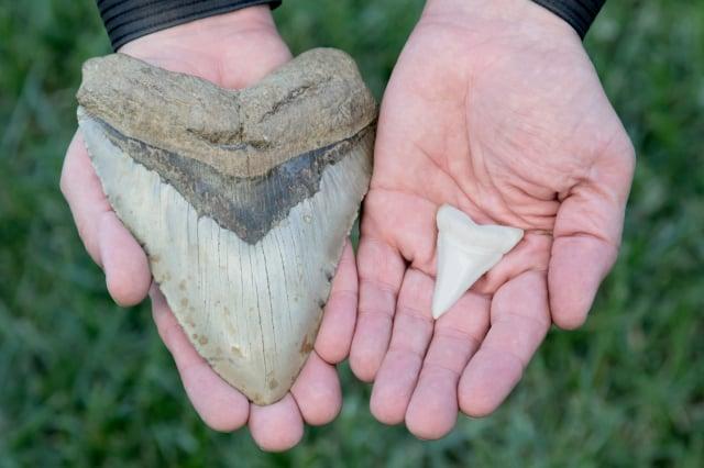 遠古巨齒鯊和現代鯊魚的牙齒對比圖。(Shutterstock)