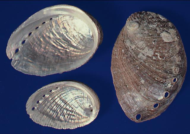 石決明:粗糙,左邊可見殼內五彩,珍珠光澤。(張賢哲教授《道地藥材圖鑑》提供)