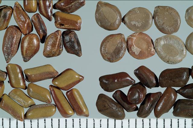 左上:小炒過的決明子;右上:望江南種子;左下:生決明子;右下:大炒過的決明子。(張賢哲教授《道地藥材圖鑑》提供)