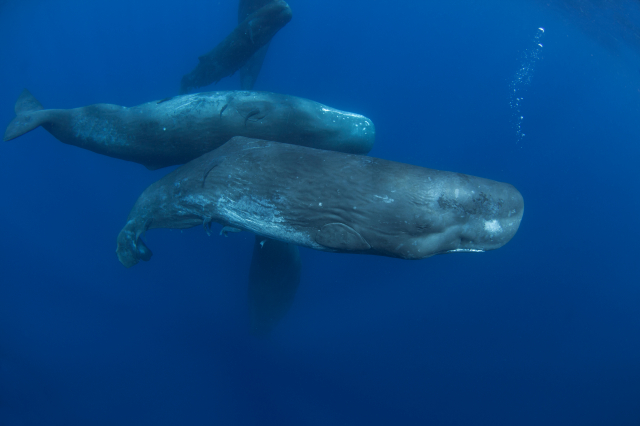 聰明的抹香鯨。(Shutterstock)