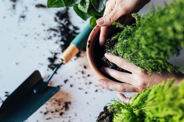 根據植物生長的情況,適時換盆,植物生長更健康。(Shutterstock)