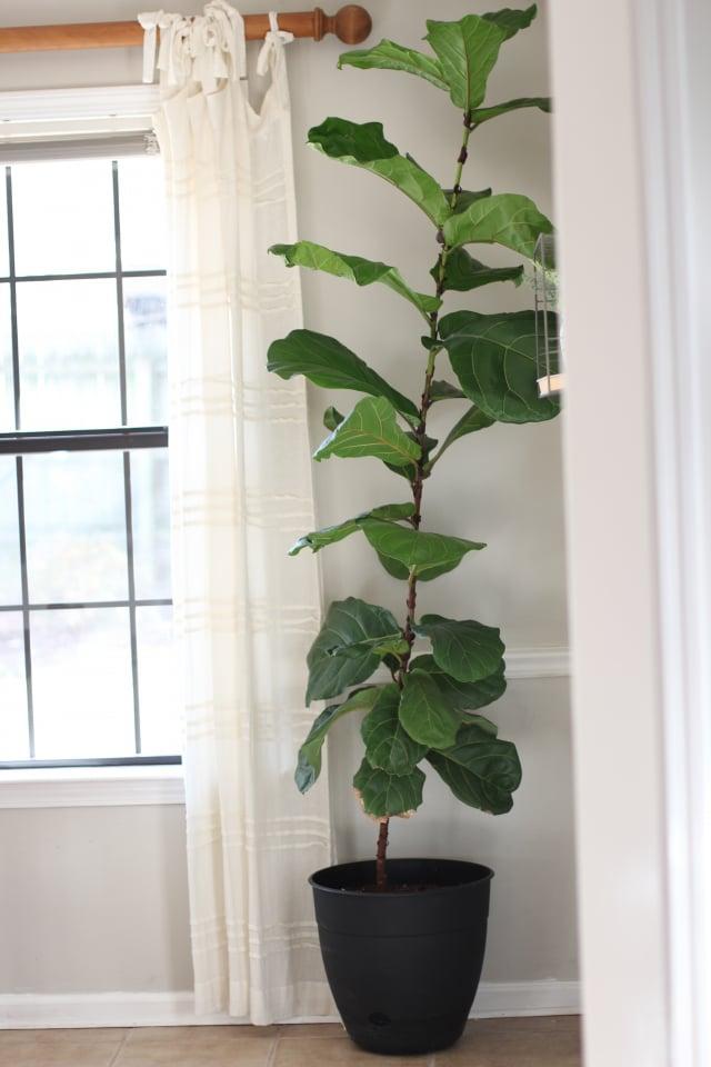 小提琴無花果樹(Fiddle leaf fig tree)屬於根系發達的樹,要選大盆。(Shutterstock)