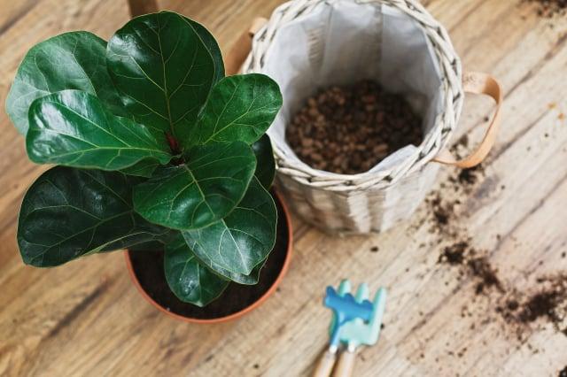 小提琴無花果樹換盆。(Shutterstock)