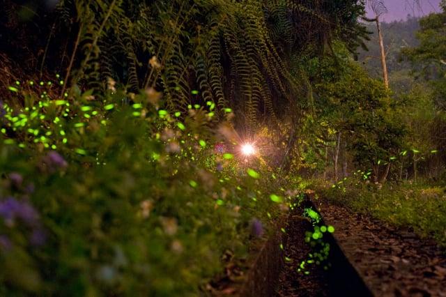 日月潭生態資源豐富,每年4~5月的星光螢火季可欣賞多種螢火蟲在星空下飛舞的浪漫美景。(日月潭風景管理處提供)