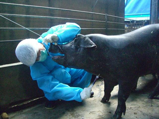 新北市日前於萬里海域發現海漂豬,經檢驗確診為非洲豬瘟陽性。屏東縣加強稽查,全面防堵病毒入侵。(屏東縣動物防疫所提供)