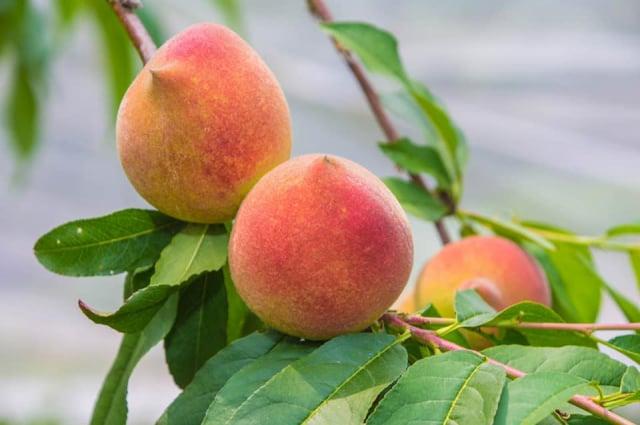 那瑪夏水蜜桃品種與臺灣北部大不相同,果粒不大,但口感味覺佳,甜度介於13~15度。(高雄市那瑪夏區公所提供)