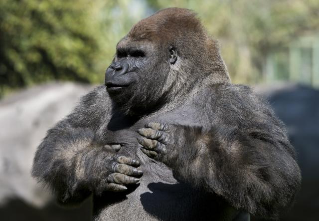 近日,德國科學家的一項最新發現,解開了大猩猩為何左右捶胸之謎。(OMAR TORRES/AFP via Getty Images)