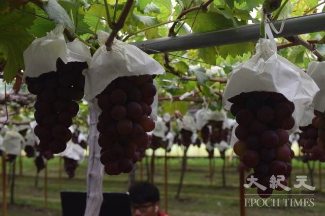 埔心溫室葡萄成熟上市串晶瑩剔透。(記者謝五男/攝影)
