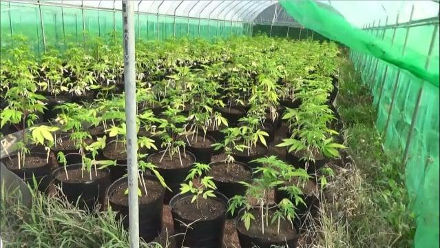 毒梟集團竟將整片山頭剷平,整地搭建附設自動灑水設備的溫室,大量栽種大麻植株。(調查局提供)