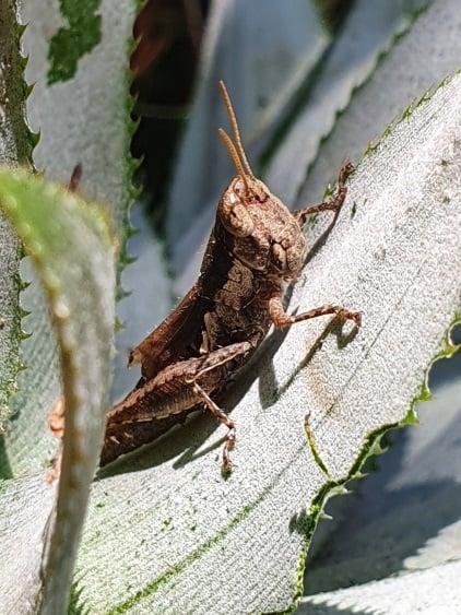 近黃紅透頂,可能是第一隻雌性臺灣小稻蝗,聞果香而來,直覺聯結可以吃了。(作者提供提供)