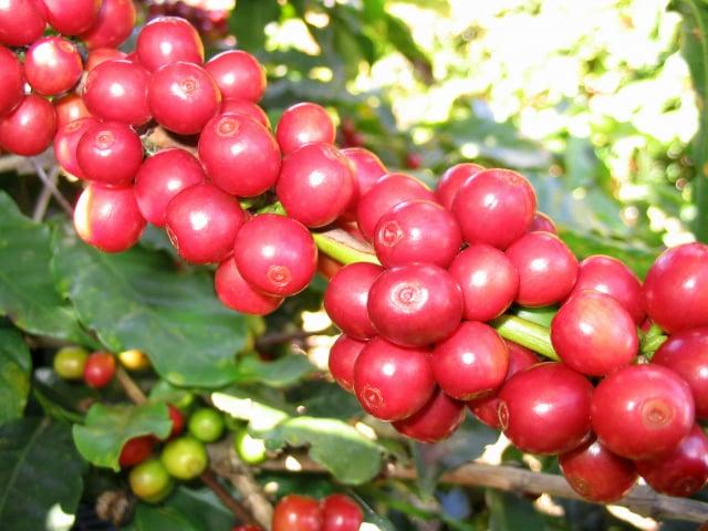 咖啡果。(Marcelo Corrêa/維基百科)