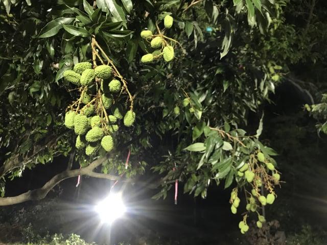 夜間燈照。(鳳山熱帶園藝試驗分所提供)