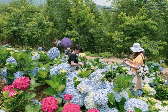 「2021桃園繡球花季」原訂展至6/19,受疫情影響,桃園市宣布13日提前結束。