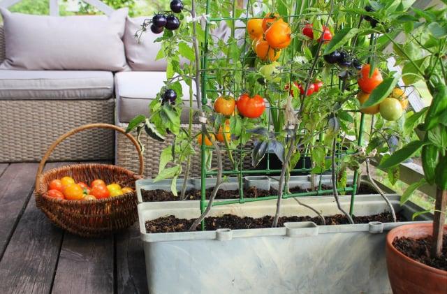 栽種幾盆蔬果、香草植物擺在戶外休閒區妝點景觀,同時享受採摘食用的樂趣。(Shutterstock)