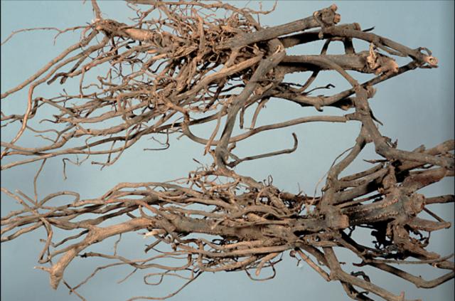 南板藍根原藥材:有多數的細長彎曲根。  (張賢哲教授《道地藥材圖鑑》提供)