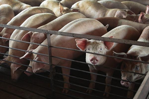 在亞洲地區,不丹是第14個發生非洲豬瘟疫情的國家。示意圖。(Scott Olson/Getty Images)