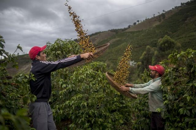 巴西宣布,91年來最嚴重的乾旱,導致相關農作物價格飆漲。圖為巴西農民們篩選咖啡豆。(MAURO PIMENTEL/AFP via Getty Images)