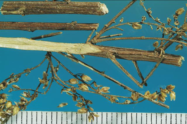 青蒿:莖圓柱,上多分枝 ,縱溝紋,斷面有中央白髓,細小頭狀花序,黃綠色。(張賢哲教授《道地藥材圖鑑》提供)