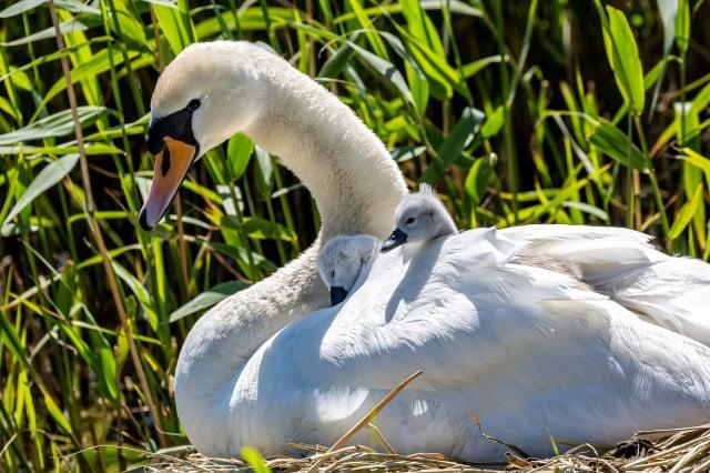 天鵝與天鵝寶寶,示意圖。(Shutterstock)
