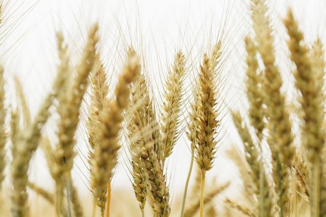 夏至是小麥收割的季節!(pixabay)