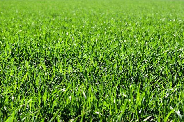 翠綠的小草看似柔弱而無害,但它們對人們的肌膚卻很無情,可能導致惱人的搔癢或灼痛感。其原因有以下幾個。(Pixabay)