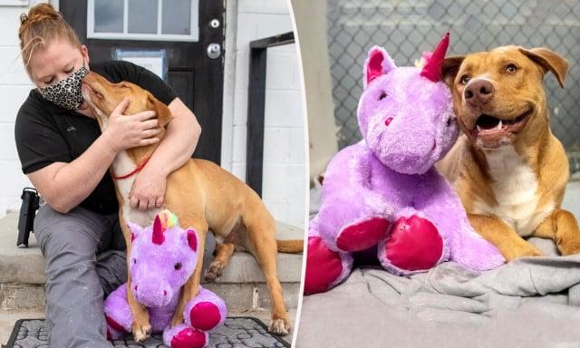 美國北卡羅來納州一隻流浪狗前不久因多次試圖偷一隻獨角獸玩偶而引起人們的廣泛關注,幸運的是,最終它和心愛的獨角獸一同被新家庭領養。(Mary Shannon Johnstone via Duplin County Animal Services)
