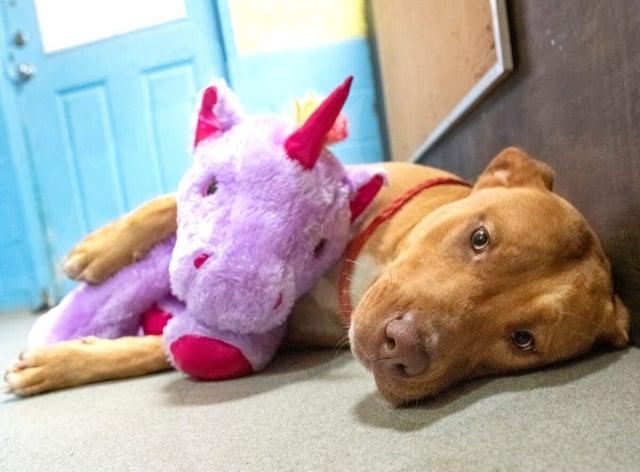 這隻流浪狗對紫色獨角獸玩偶情有獨鍾。(Mary Shannon Johnstone via Duplin County Animal Services)