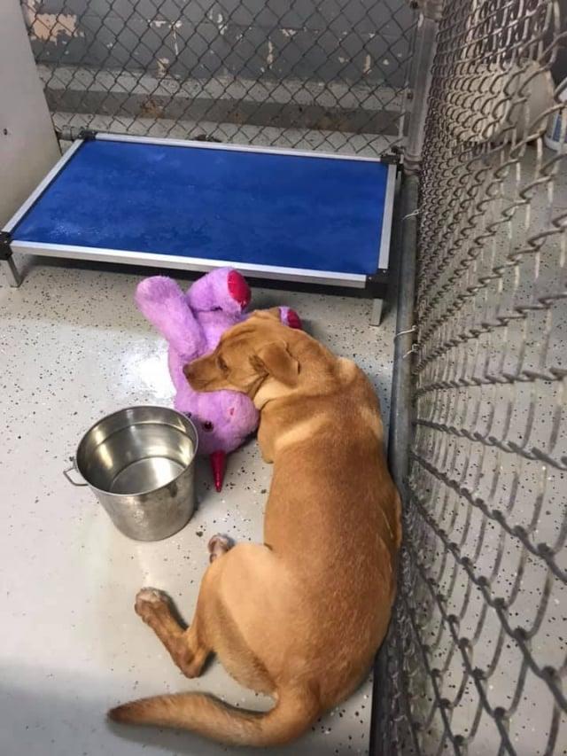 這隻流浪狗被帶到動物服務處的收容所後,整天都和紫色獨角獸形影不離。(Duplin County Animal Services)
