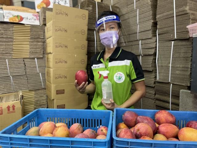 屏東女芒果農林町霙說,屏東芒果農都恪遵疫情指揮中心規範,室外作業時不超過十人,無論採果或理貨前,都量體溫、戴口罩、戴護面罩、每天早、中、晚至少清消三次以上。