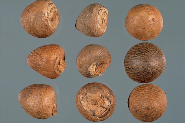 檳榔原藥材:圓錐狀、黃棕色、底截平中凹、堅重不易碎。 (張賢哲教授《道地藥材圖鑑》提供)