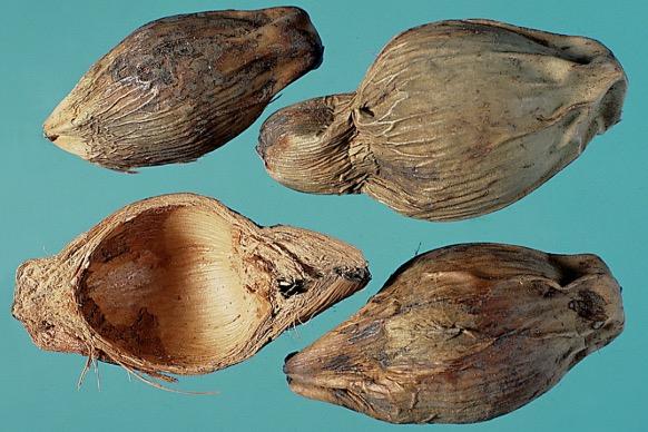 大腹皮:呈瓢狀黃灰色硬殼,有縱纖維,質輕。 (張賢哲教授《道地藥材圖鑑》提供)
