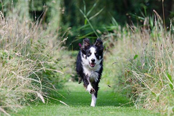 蘇格蘭邊境牧羊犬,示意圖。(Pixabay)