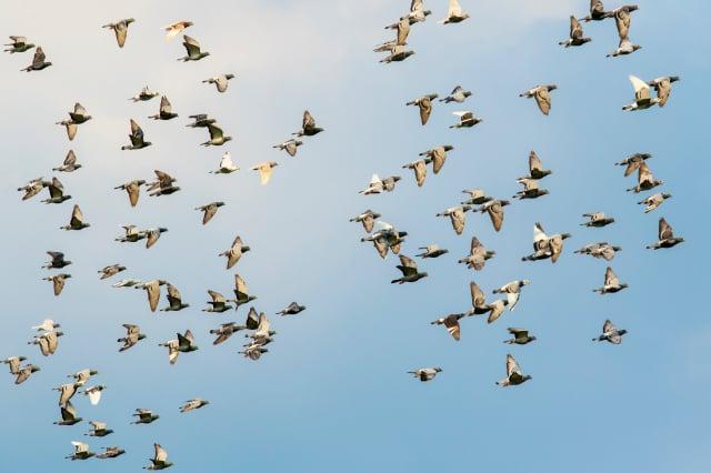 針對這次比賽中有如此多的鴿子失蹤,伊凡斯指出,這是史無前例的,其確切原因仍在調查之中,但牠們有可能是在飛行途中,因為地球磁場的改變而受到干擾。(Shutterstock)