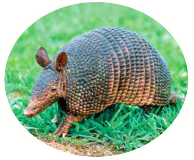 犰狳,這種動物只生活在中、南美洲和美國南部地區。《山海經.東山經》中記載描述的一種動物,和北美犰狳驚人的相似。(COULANGES/Shutterstock)