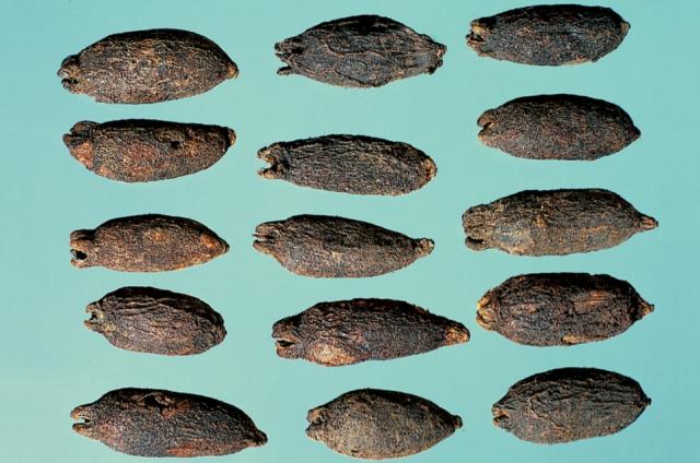 母丁香:果實卵圓狀,色褐黑,頂端有四裂花萼,子葉合抱,嘗之辛辣,質脆堅硬。(張賢哲教授《道地藥材圖鑑》提供)