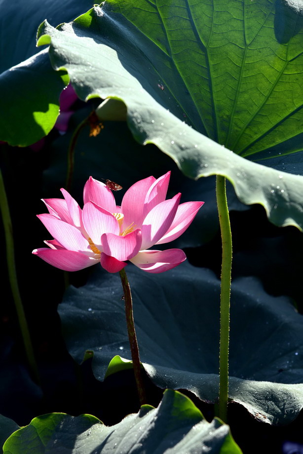荷葉田田伸展了綠意,花兒含苞待放。(永緣/攝影)